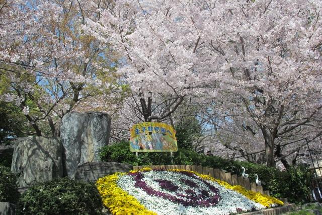 王子動物園と桜