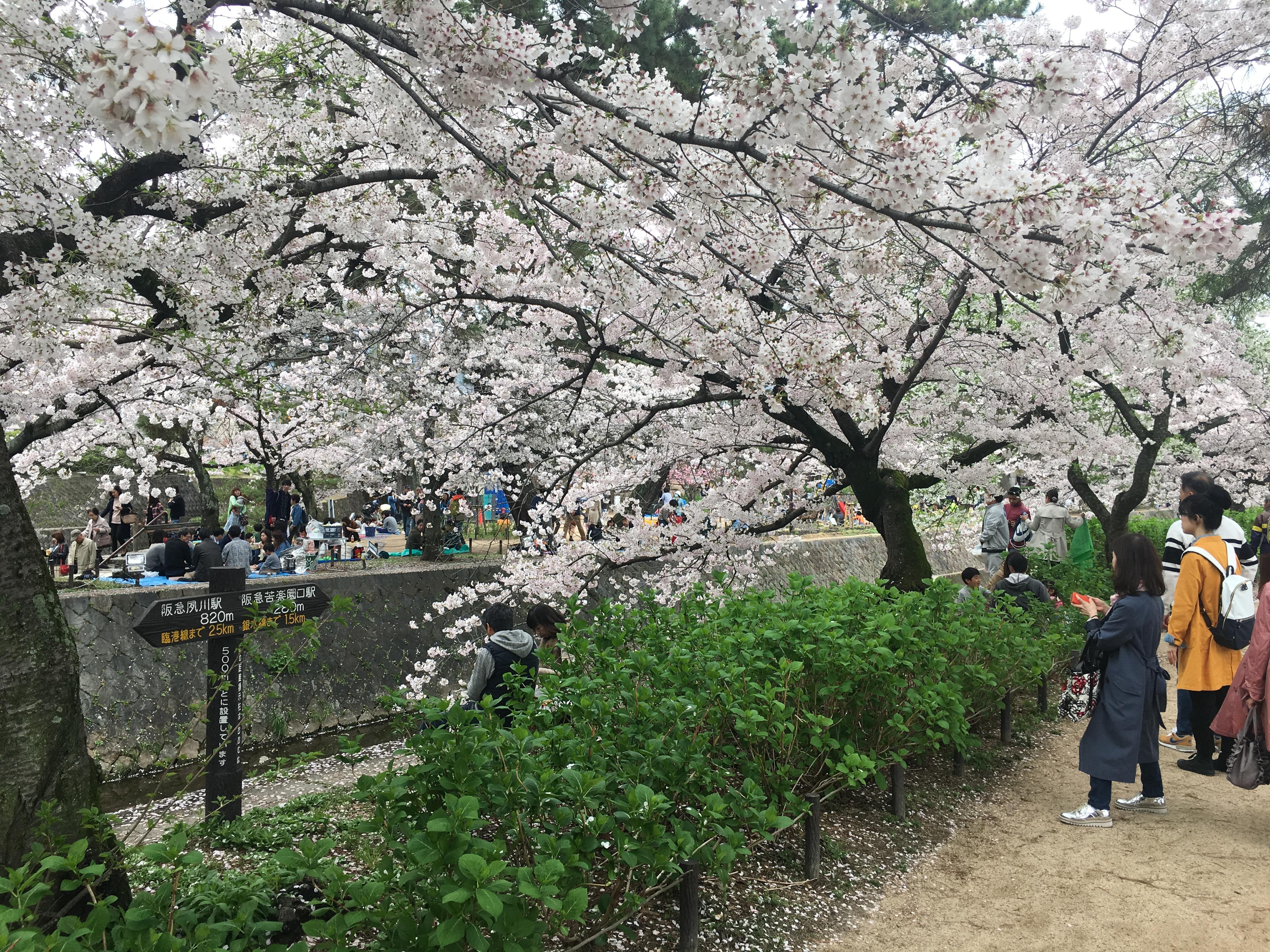 夙川河川敷の桜並木